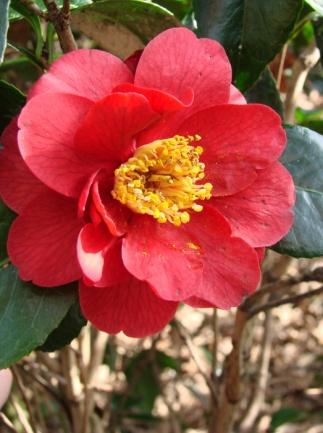 C:\Users\Jean\My Documents\Pictures\News 15 illust\Camellia japonica san dimasDSC02419.JPG