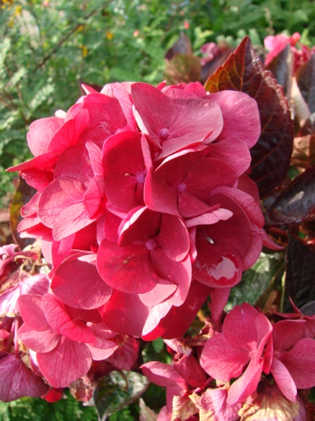 C:\Users\Jean\My Documents\Pictures\News 15 illust\Hydrangea merville sanguinDSC09983.JPG