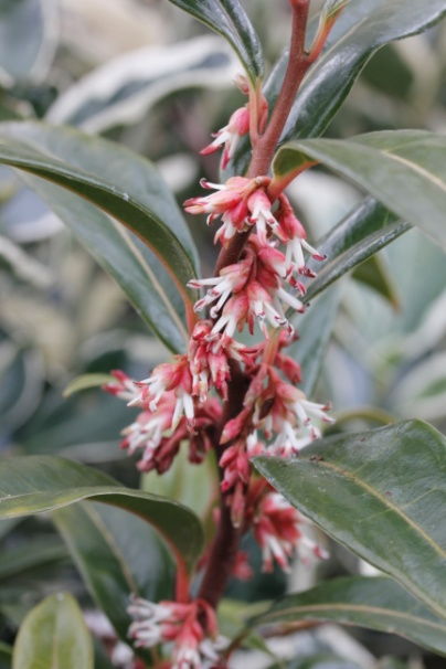 C:\Users\Jean\My Documents\Pictures\Sarcococca\Sarcococca hookeriana winter gem_MG_8579.JPG