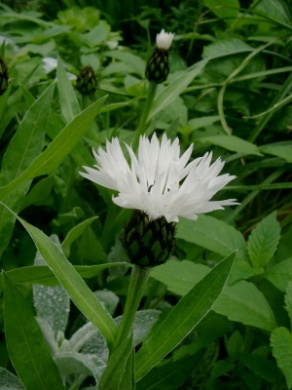 C:\Users\Jean\My Documents\Pictures\News 15 illust\centaurea montana alba.JPG