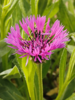 C:\Users\Jean\My Documents\Pictures\News 15 illust\Centaurea montana violetta_MG_4448.JPG