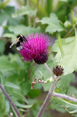 C:\Users\Jean\My Documents\Pictures\News 15 illust\Cirsium trevors blue wonder_MG_7415.JPG
