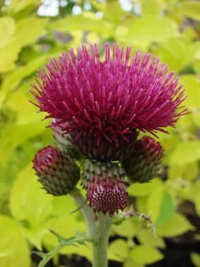 C:\Users\Jean\My Documents\Pictures\News 15 illust\cirsium rivale atropurpureum 1j.JPG