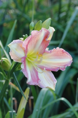 C:\Users\Jean\My Documents\Pictures\News 15 illust\Hemerocallis pony_MG_6621.JPG