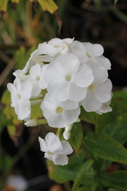 C:\Users\Jean\My Documents\Pictures\News 15 illust\Phlox paniculata miss universe_MG_7626.JPG
