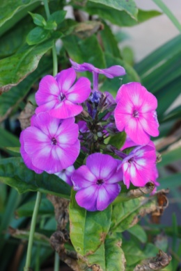 C:\Users\Jean\My Documents\Pictures\News 15 illust\Phlox paniculata uspekh_MG_7546.JPG