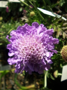 C:\Users\Jean\My Documents\Pictures\News 15 illust\scabiosa butterfly blue.JPG