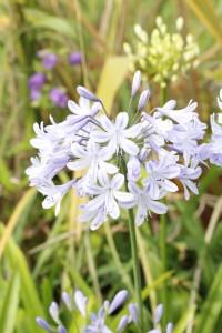 Agapanthus ice blue star_MG_1050