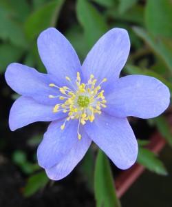 Anemone nemorosa royal blue DSC05940