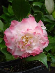 Camellia japonica nuccios jewel DSC06614