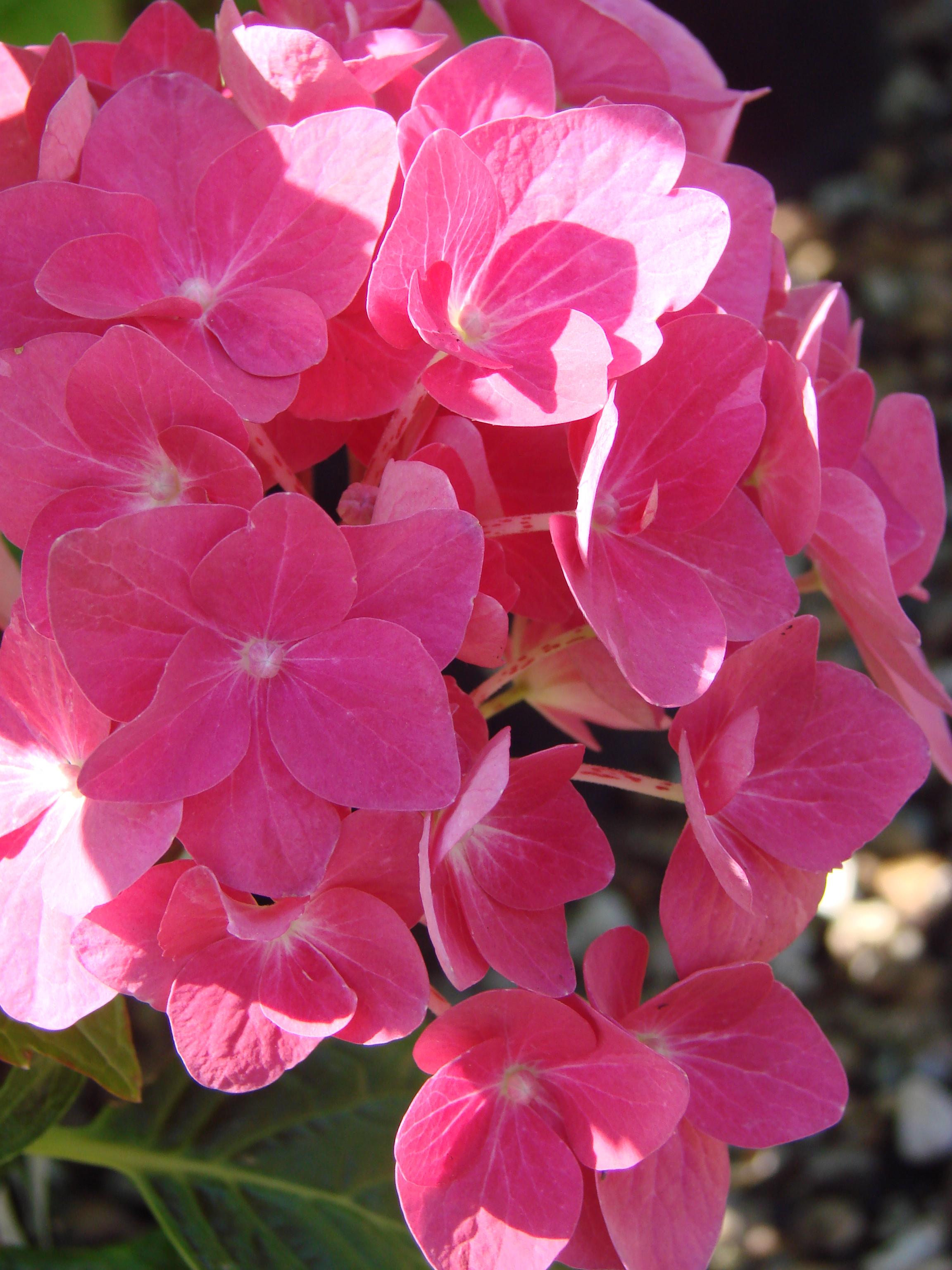 Hardy Shrub Plant in 9 cm Pot Hydrangea macrophylla Ami Pasquier
