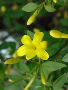 Jasminium fruiticansDSC01142