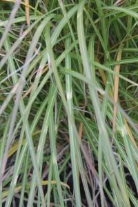 Miscanthus sinensis etincelles_MG_8594