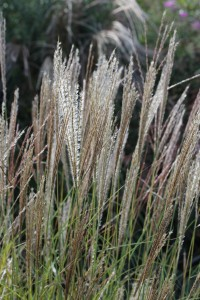 Miscanthus sinensis gnome_MG_2135