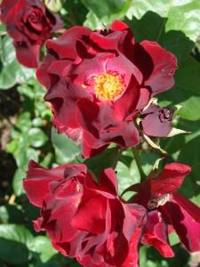 Rosa dusky maidenDSC08820
