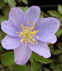 anemone nemorosa bowles purple 6