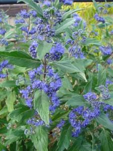 caryopteris grande bleu