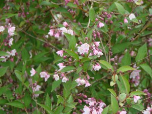 deutzia elegantissima fasciculata