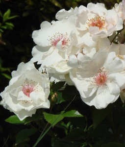 rosa jacqueline du pre harwanna