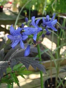 Agapanthus lilliputDSC03085