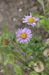 Aster x frikartii floras delight_MG_8015_resize