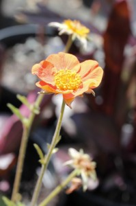 Geum coccineum werner arends_MG_1057_resize