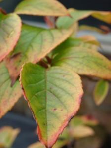 Stewartia pseudocamelliaDSC01533