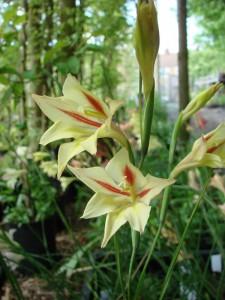 gladiolus tristis seedling 8_resize