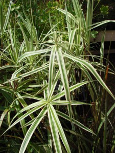 Carex sparklerfile a 050