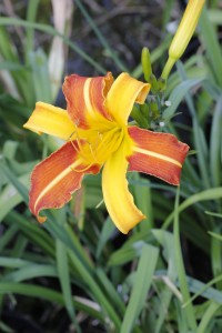 Hemerocallis caballero_MG_3240