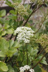 Ligusticum scoticum_MG_7926