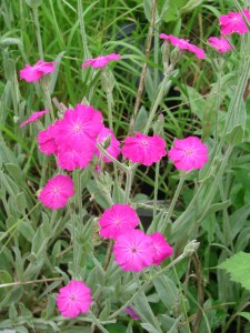 Lychnis hill groundsDSC08290