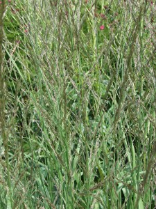 Molinia caerulea windspielDSC02947
