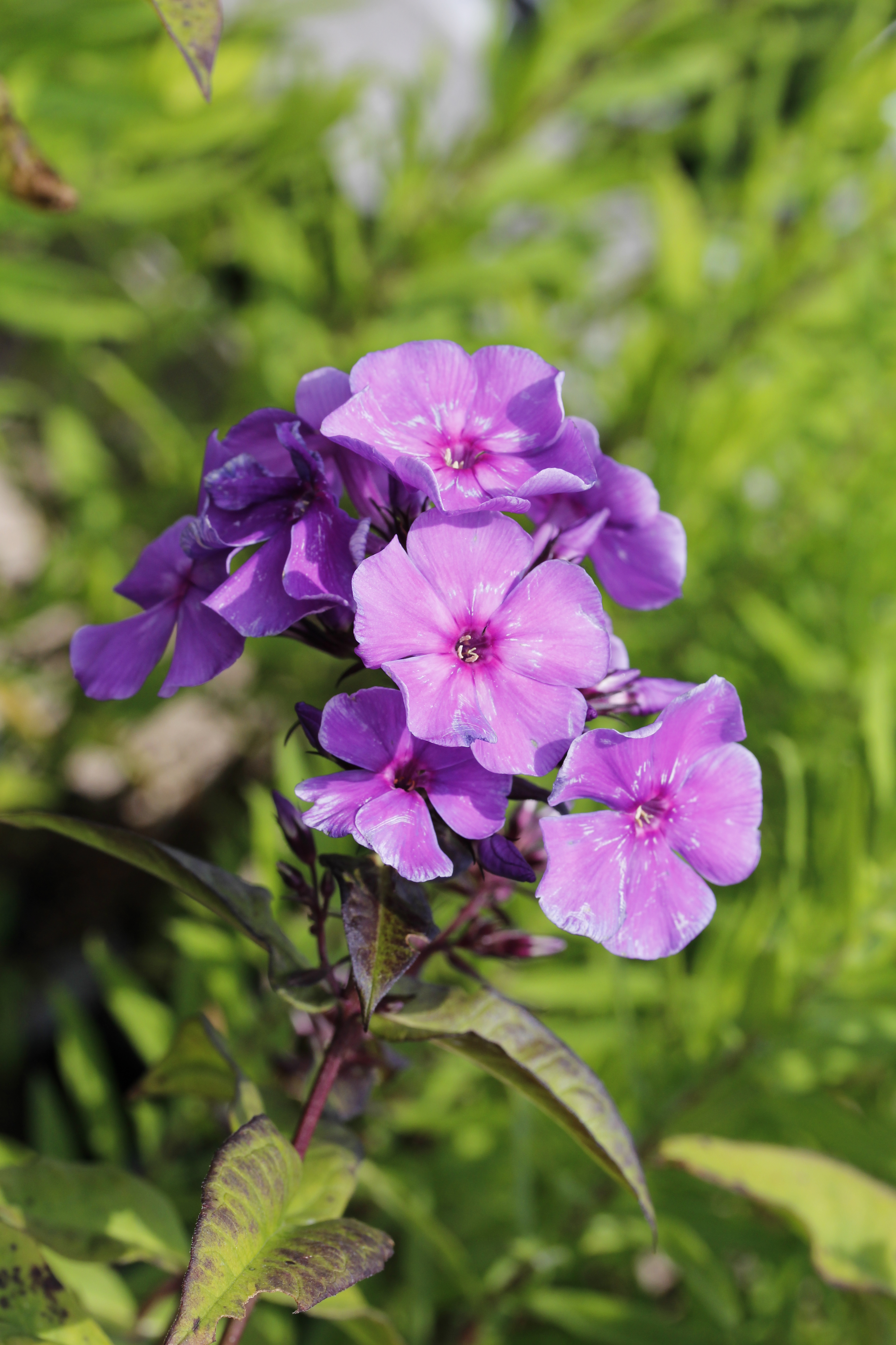 Newsletter 2018 longhouse plants phlox paniculata blue moonmg4573 izmirmasajfo
