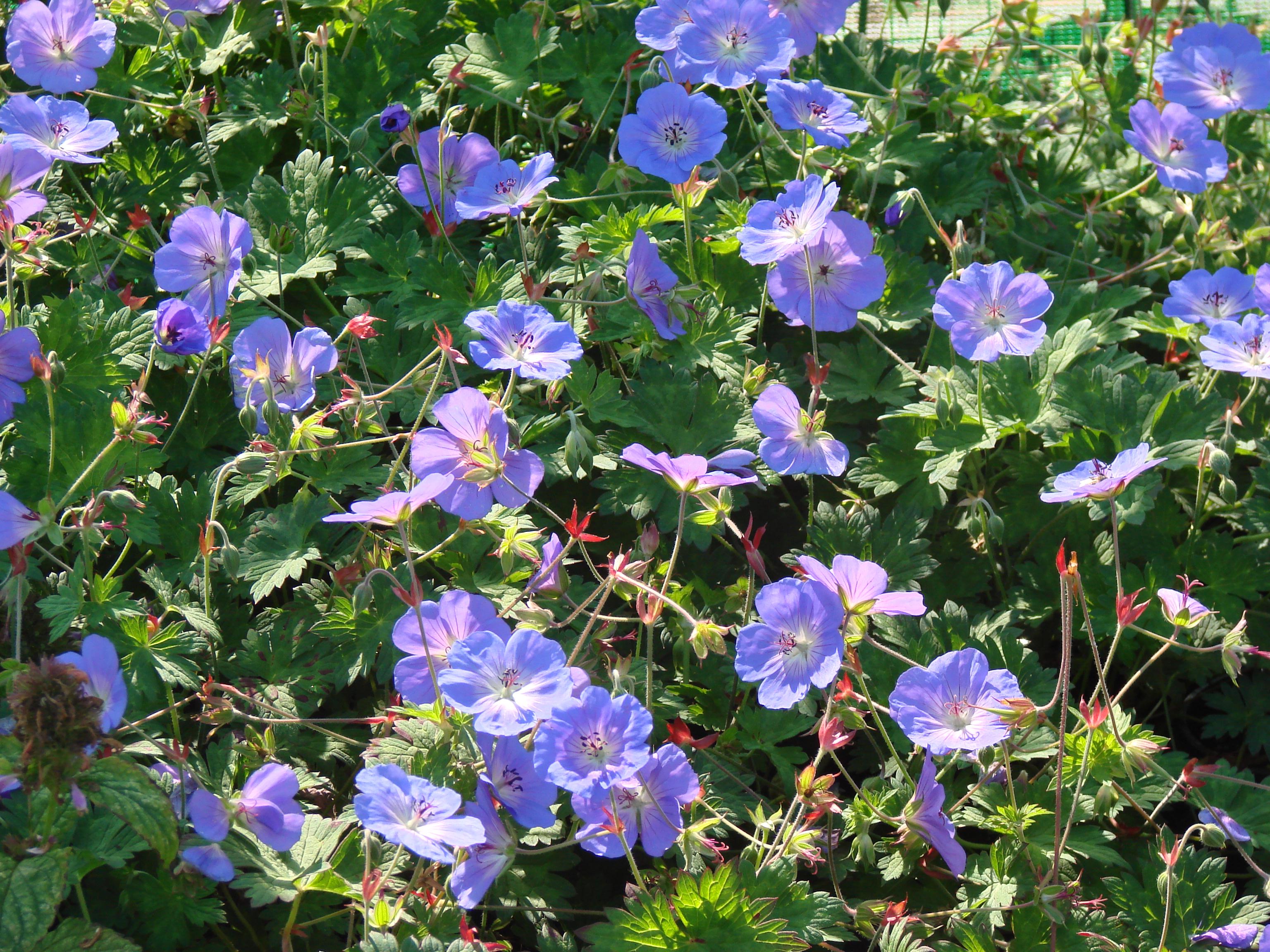 Newsletter 2018 longhouse plants geranium rozanne 7 izmirmasajfo