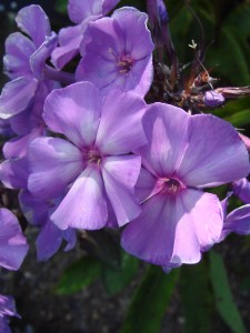 phlox paniculata blue evening - Copy