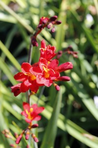 Crocosmia dragonfly_MG_9076