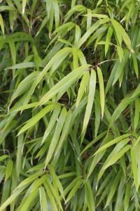 Yushana maculata_MG_4561